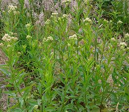 Baccharis_glutinosa_plant.jpg