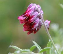 Vicia_benghalensis_flower.jpg