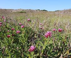 Trifolium_wormskjoldii_habitat.jpg