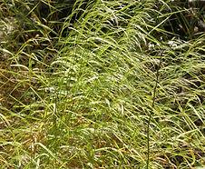 Agrostis_hallii_habitat.jpg