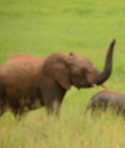elephants-480x570.jpg