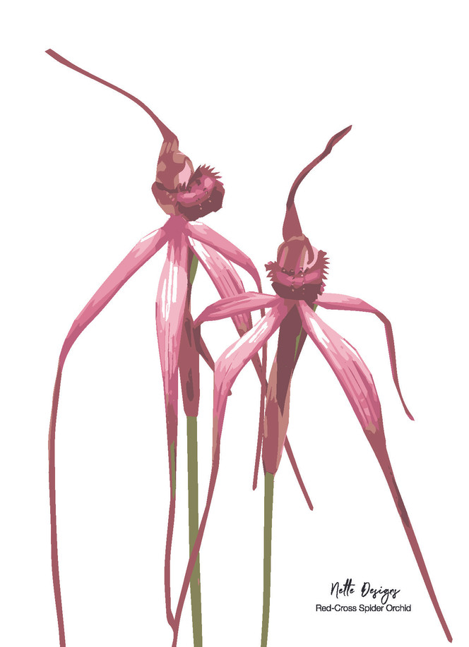 Red-Cross Spider Orchid.jpg