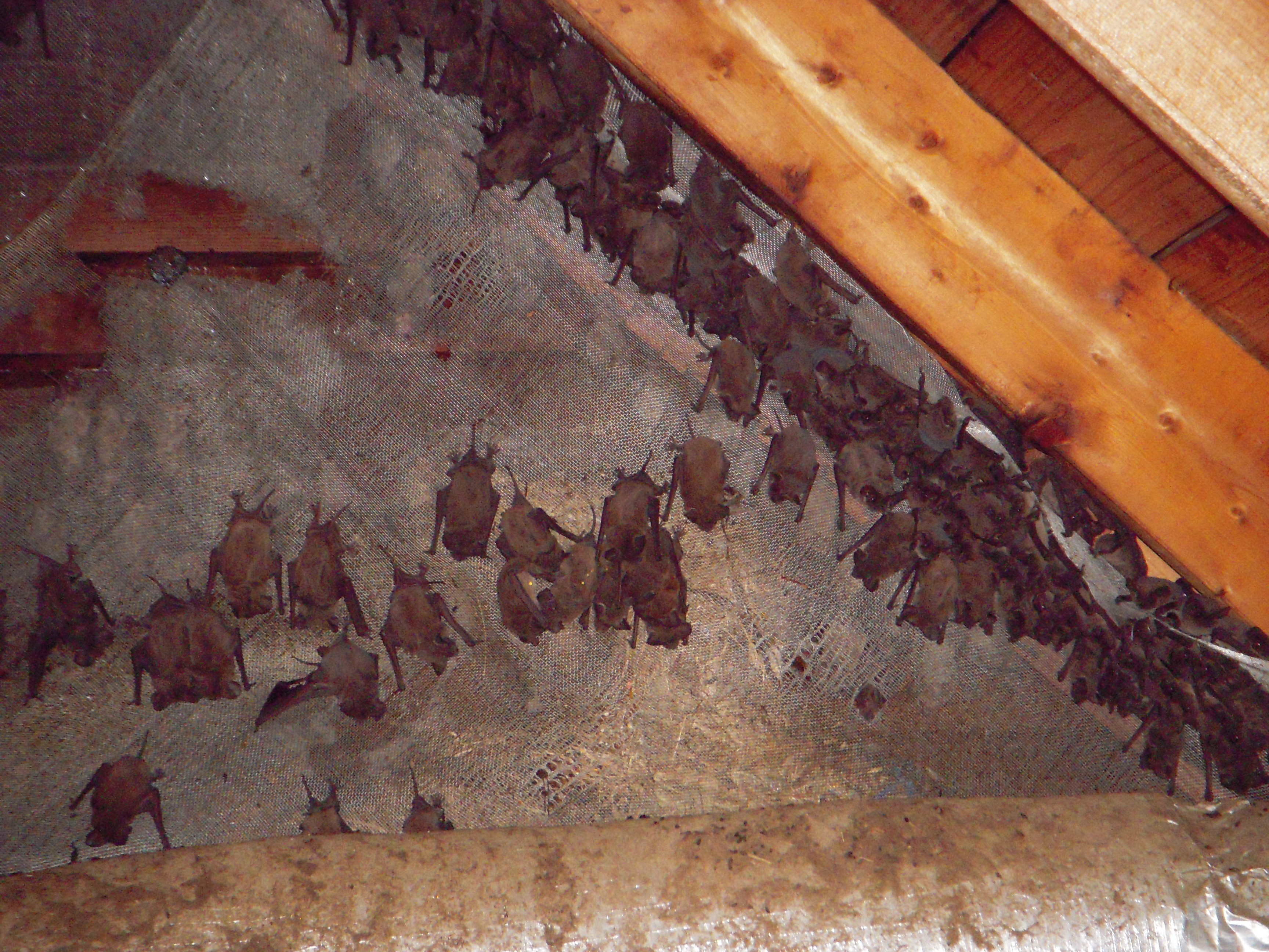 Raccoon In Attic Rd Covenant Wildlife And Pest Management