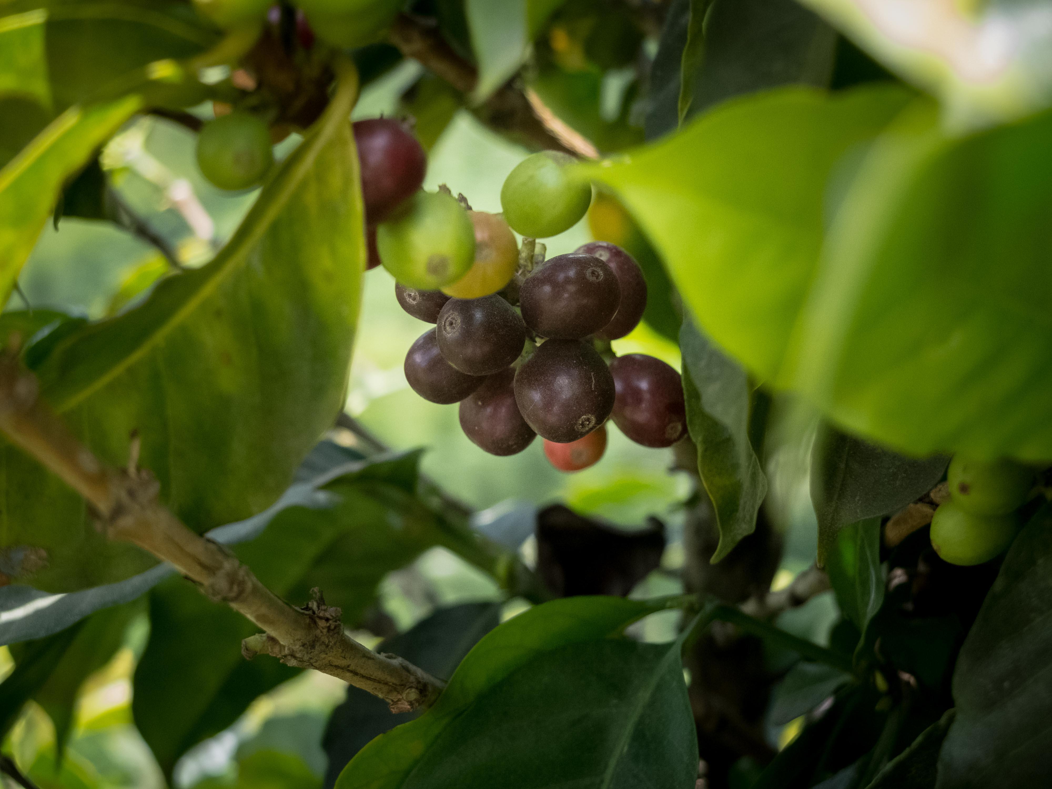 Cerezas de Café