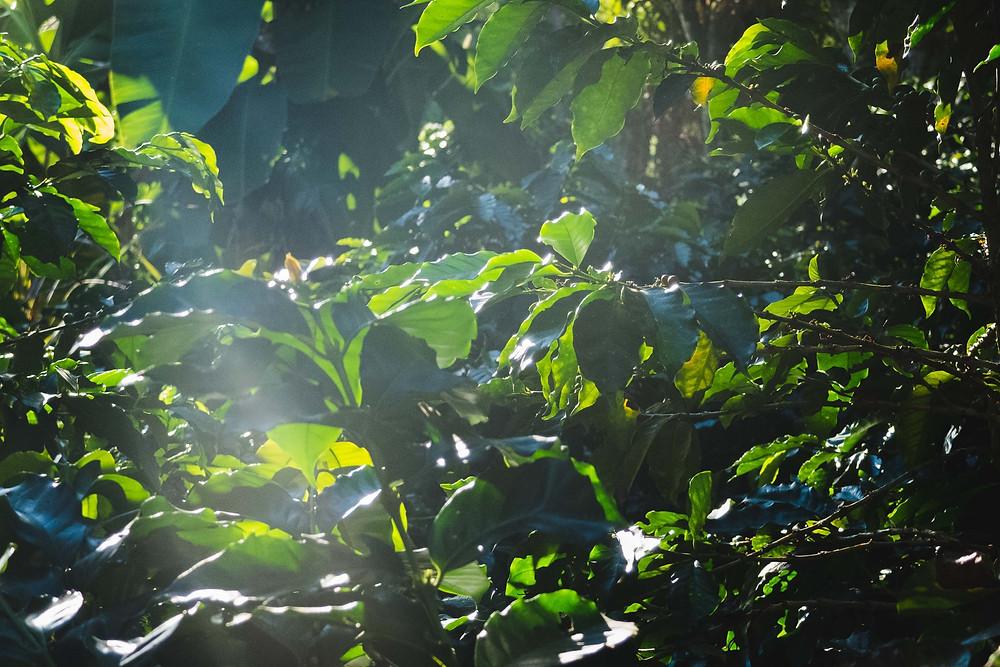 Entre las matas de café y la vegetación