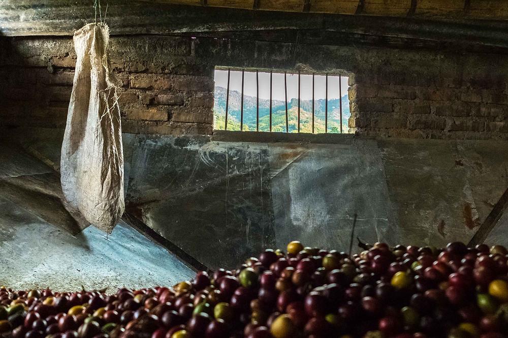 Recolección de cerezas del día
