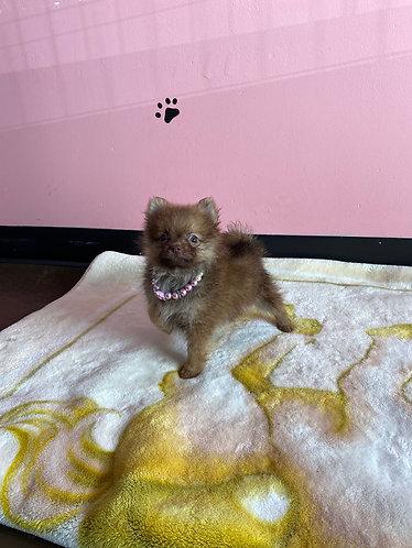 Tiny Tcup Pomeranian #279 Female
