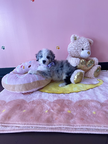 Blue Merle Mini AussieDoodle #503 Male