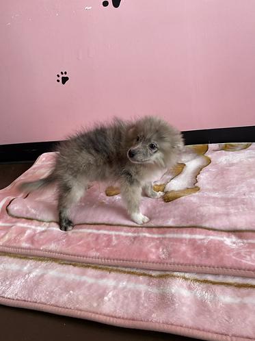 Pomeranian Eskimo #999 Male