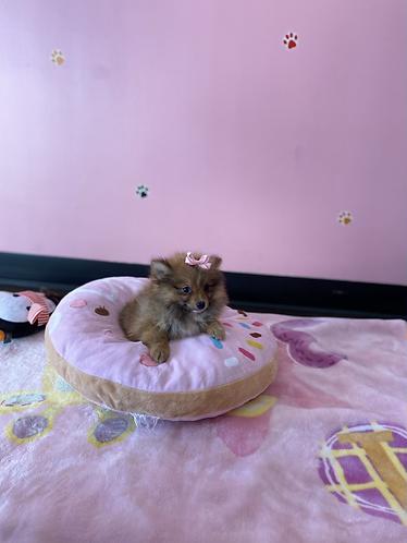Pomeranian #696 Female