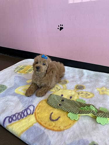 Mini Goldendoodle  #514 Male