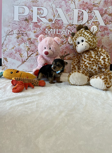 Toy Yorkshire Terrier #718 Male