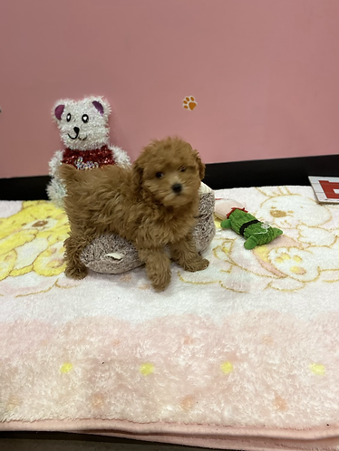 Toy Poodle #998 Female