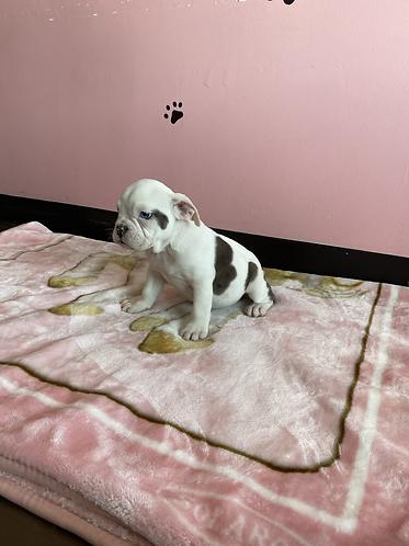 Bulldog #765 Female