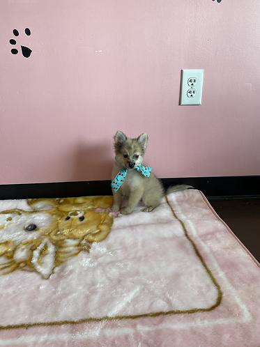 Pomeranian Eskimo #108 Male