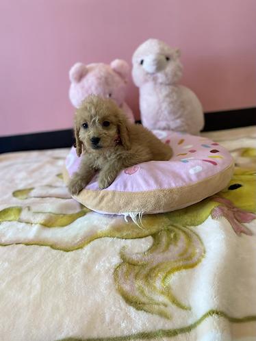 Mini Goldendoodle #789 Female