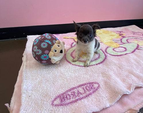 Tcup Chihuahua #345 Female