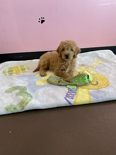 Mini Goldendoodle #511 Female