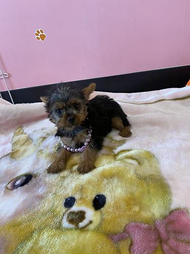 Yorkshire terrier #378 Female