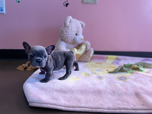 Blue French Bulldog #067 Female