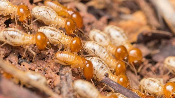 TermitesPIC1_edited.jpg