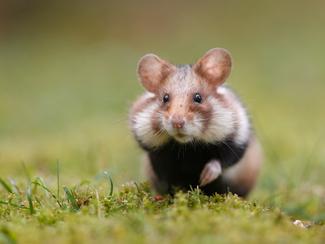 179.739 EUR Vlaamse steun voor Tongerse landbouwers om wilde hamster te redden