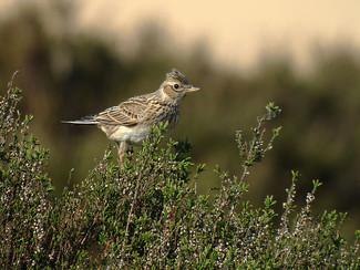 Aantal beheerovereenkomsten akkervogels stijgt sterk in Haspengouw