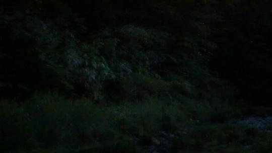ゲンジボタルの飛翔動画
