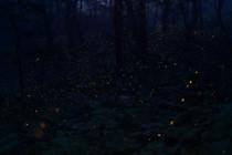 折爪岳のヒメボタル
