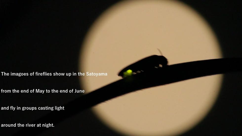 ゲンジボタルの映像