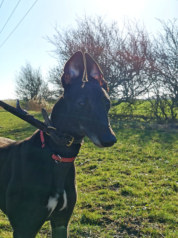 Greyhounds for Adoption in Lincolnshire & East Midlands