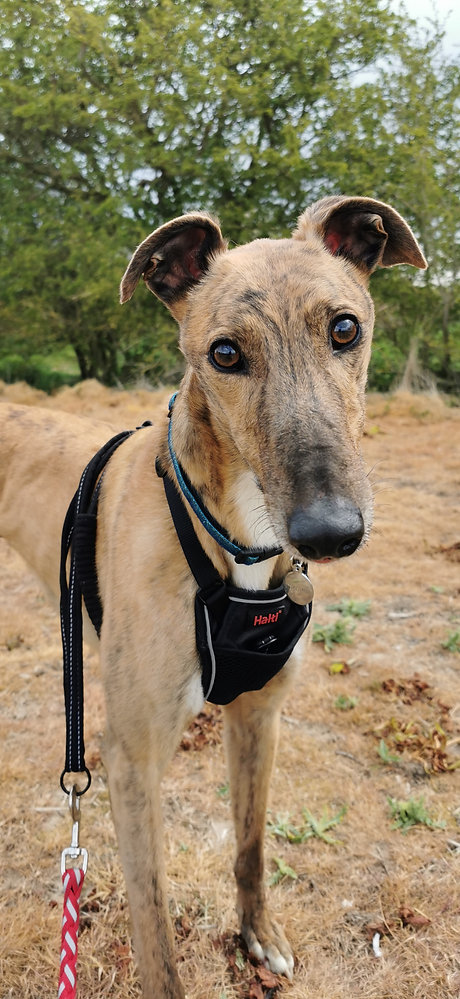 Greyhound adoption skegness.jpg