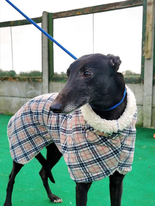 Zoe Seaside Greyhound