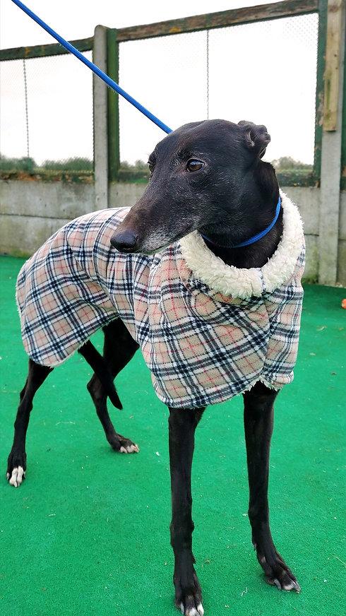 Zoe Seaside Greyhounds.jpg