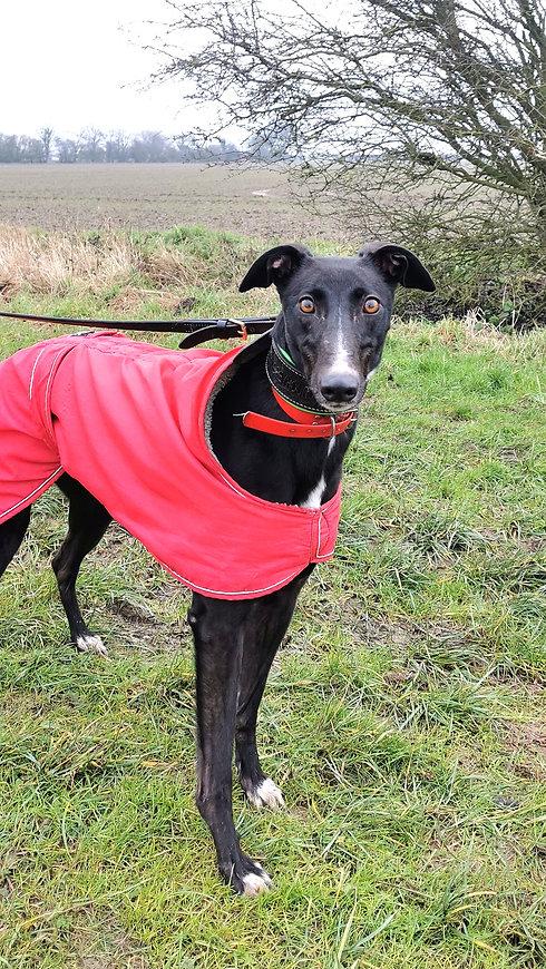Retired Greyhound Adoption