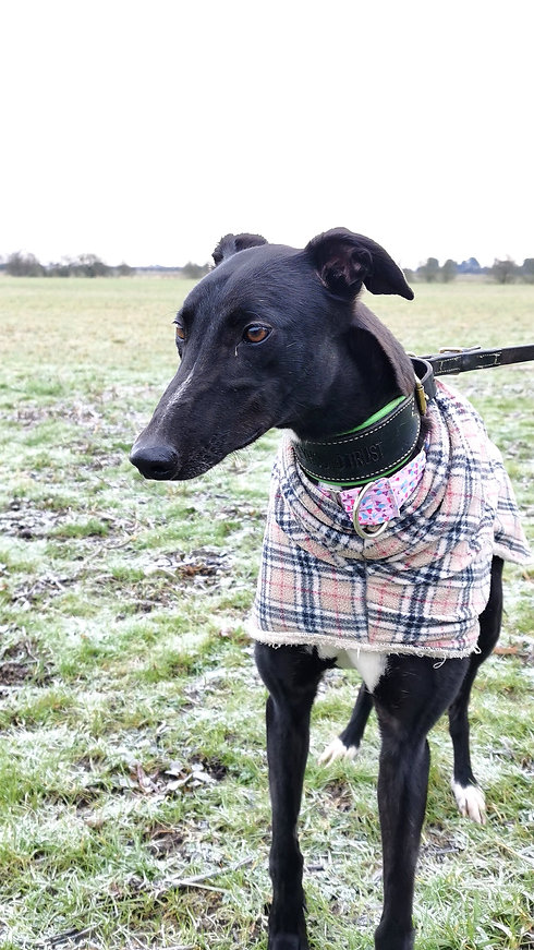 Greyhound Adoption Skegness