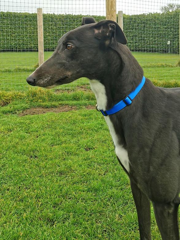 Greyhound adoption UK
