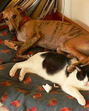 Greyhound_and_cat.jpg
