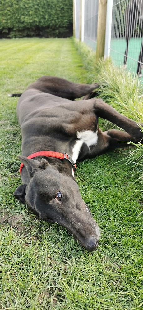 Cute greyhound