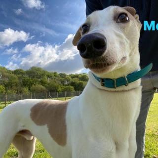 Mojo _ Homes4Hounds _ Greyhound Adoption