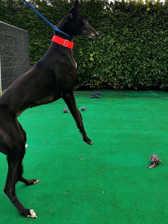 Zoe Seaside Greyhounds