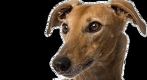 Greyhound | Homes4Hounds