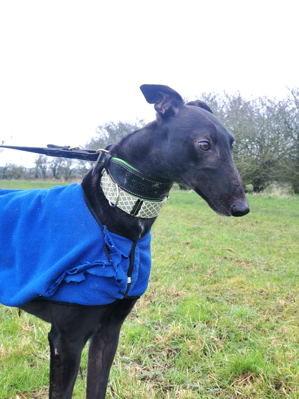 Roman Nose Greyhound
