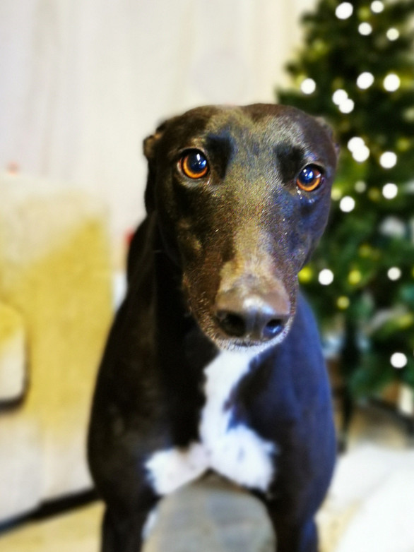 greyhound rescue skegness