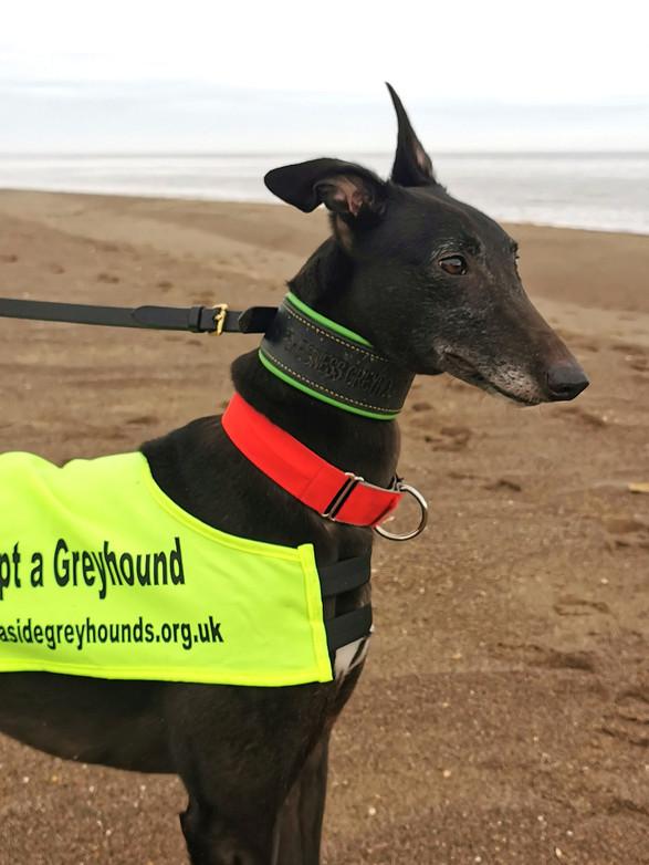 Greyhounds on the Beach