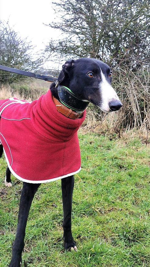 Greyhound Adoption, Seaside Greyhounds