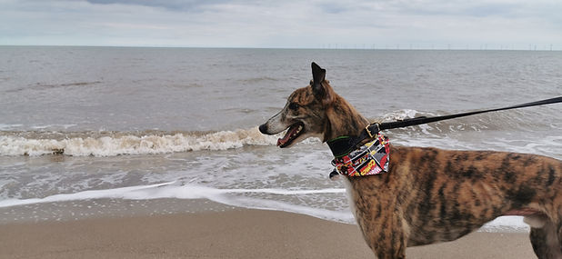Picture of a brindle greyhound at the seaside