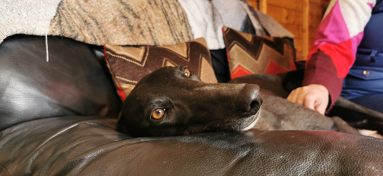 Sofa greyhound