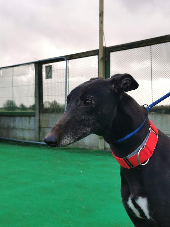 Greyhound Adoption Skegness, Lincolnshire
