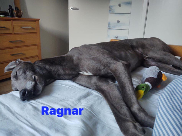 Ragnar | Homes4Hounds